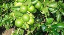 Un árbol de limón fue el protagonista de una singular representación de la crucifixión en una Semana Santa.
