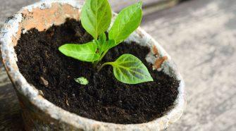 El compost puede ser utilizado en las plantas del jardín o huerta.
