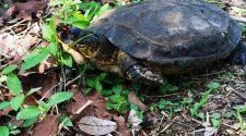 En el juicio mencionado en el artículo de opinión, testigos declararon que tortugas como esta fueron atropelladas luego del drenaje del humedal.