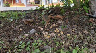 Frente al Club Campestre Español fue uno de los sectores donde se encontró veneno